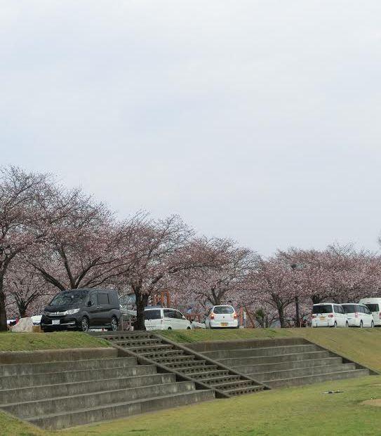水辺公園桜⑤aikyatti